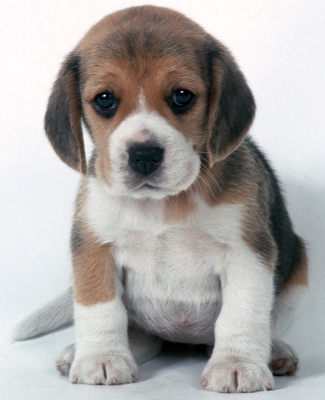 Beagle Puppies on Who Can Resist An Adorable Beagle Puppy