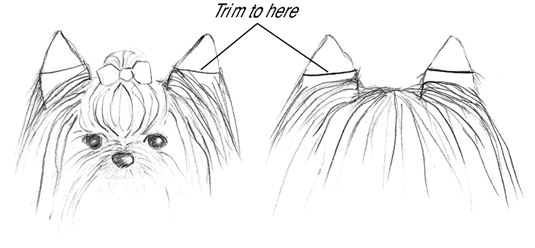 Trim the hair on the ears about half the way down on both the front and the back.