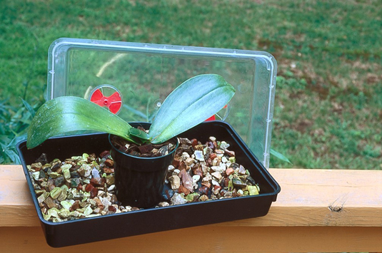 This<b> </b>miniature greenhouse with high humidity encourages the orchids to form new roots.