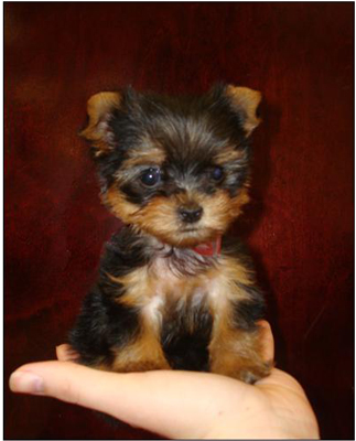 Teacup Yorkie Puppies on Teacup Yorkies Aren T True Yorkshire Terriers  They Can Also Require
