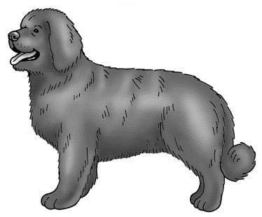A Newfoundland dog
