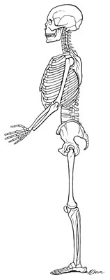 Ideal alignment of the skeleton.