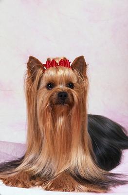 Many people can't imagine a Yorkie without its bows.