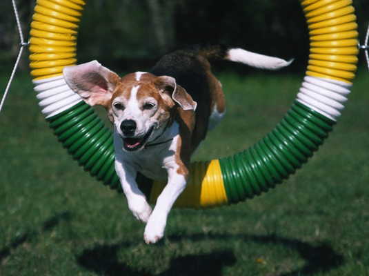 Training to compete in agility trials gives your Beagle a good workout and allows the two of you to