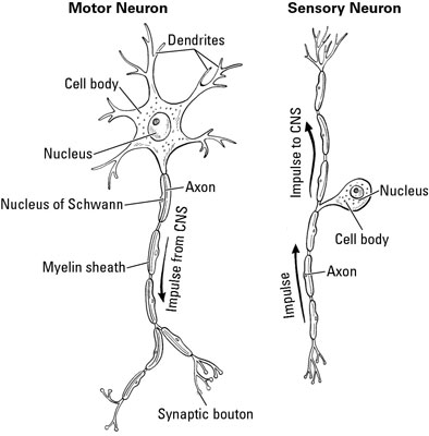 A motor neuron carries signals away from the central nervous system.