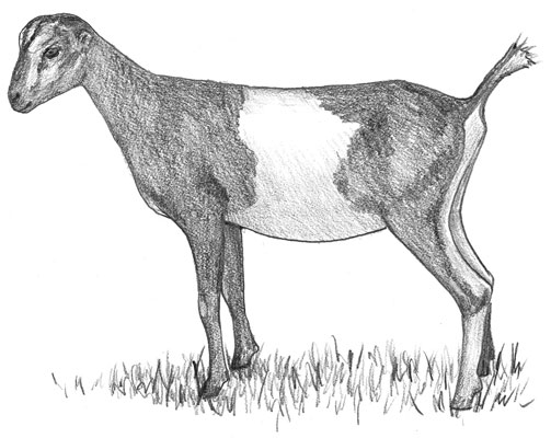 A LaMancha goat with gopher ears