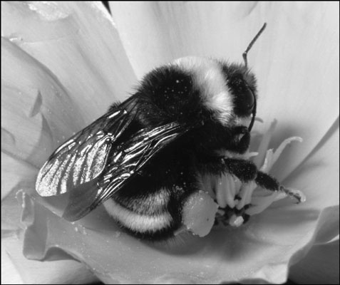The bumblebee is furry and plump.