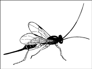 Adult <i>Ichneumonid</i> wasps need a steady source of nectar-bearing flowers to survive.