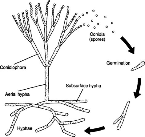 Microbiology: Structure and Physiology of Fungi - CliffsNotes