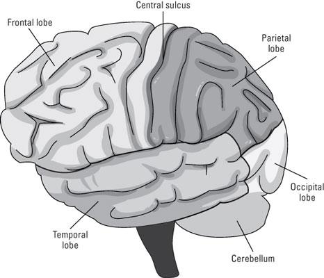 The neocortex.