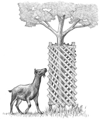A tree goat-proofed with a wooden enclosure.