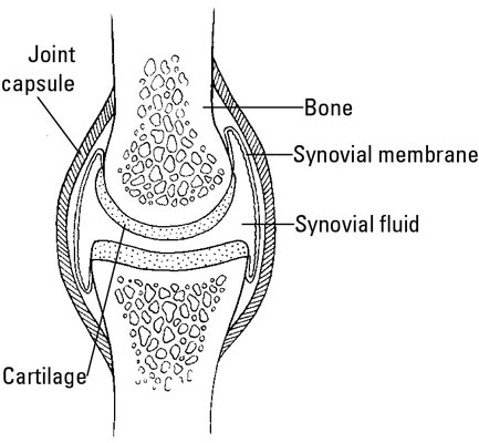 A healthy synovial joint.