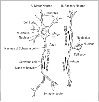The basic structure of (A) motor neuron and (B) sensory neuron, including the path of an impulse.