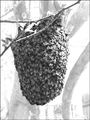 A swarm resting in a tree.