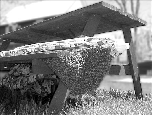A swarm that has taken up temporary residence under a picnic table.