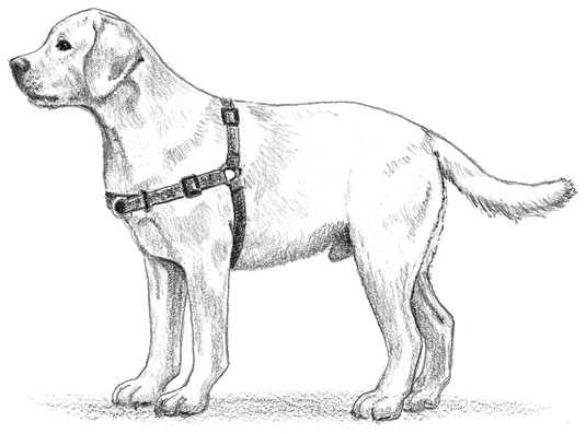 A front-attached easy-walking conditioning harness. [Credit: Illustration by Barbara Frake]