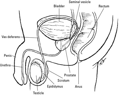 The location of the prostate and other male reproductive organs.