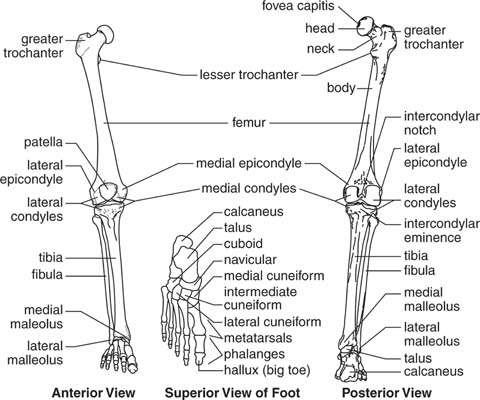 Student Clinic Anatomy Pic 1 Overview Of Lower Limb Bones