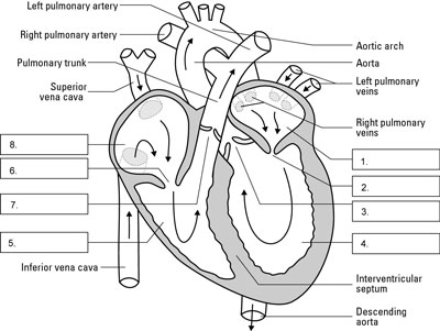 The structures of the human heart and the flow of blood through them. The diagram shows the heart a