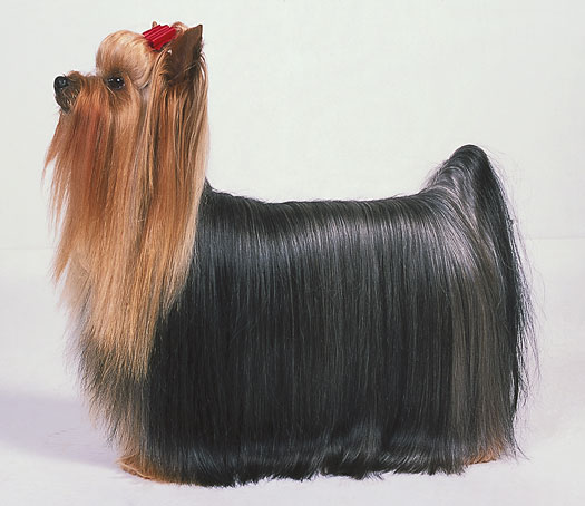Pictures Of Yorkies With Short Hair. Like human hair, Yorkie