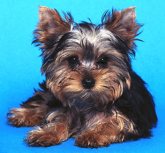 Re: yorkie hairstyles. My favorite is a puppy cut!