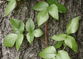 How to Identify Poison Ivy, Oak, and Sumac