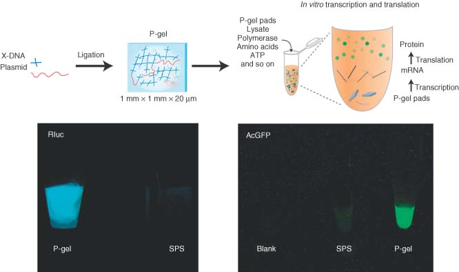 amorphous hydrogels. Protein-producing DNA hydrogel